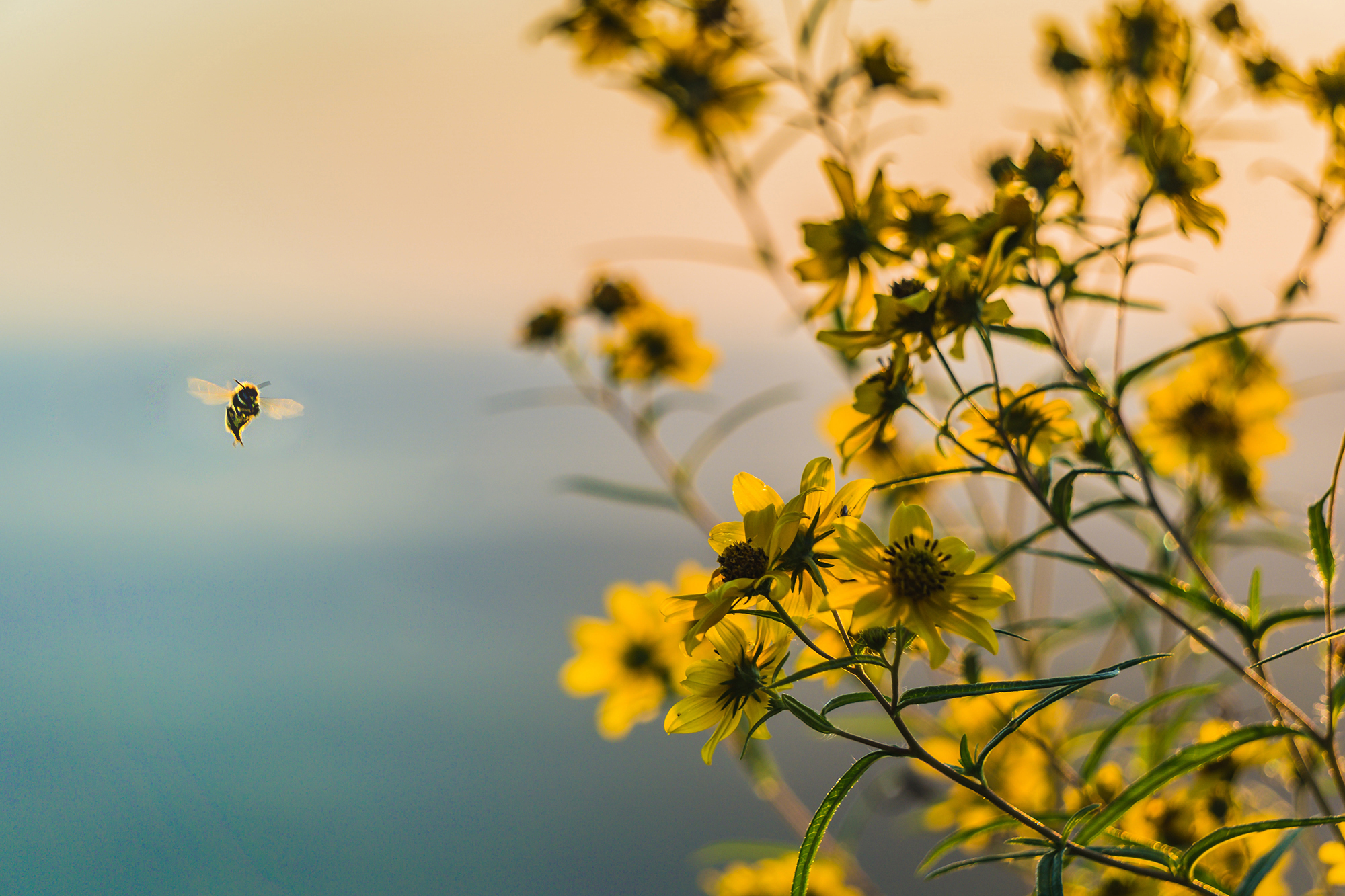 honeybee2.jpg