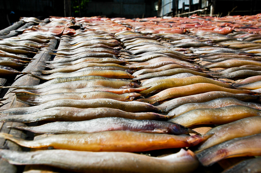 Fish caught in the Mekong River near Phnom Penh is left out to dry.