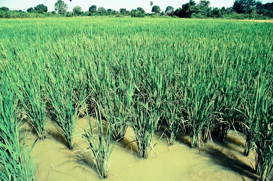 Rice seedlings planted in a field outside Phnom Penh.