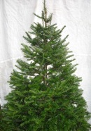 Grand Fir  (click for larger image)