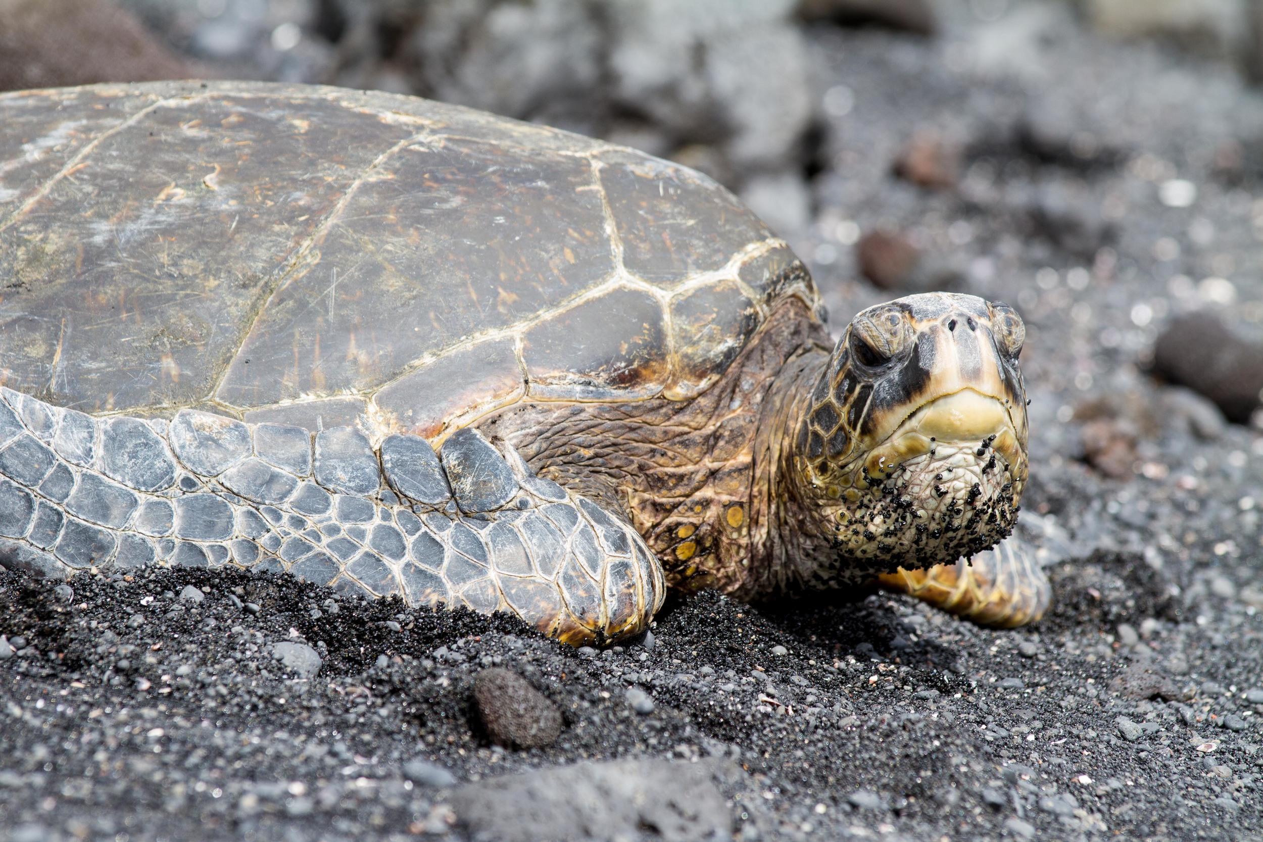 A Green Sea Turtle on a black sand beach. VERY hot sand!