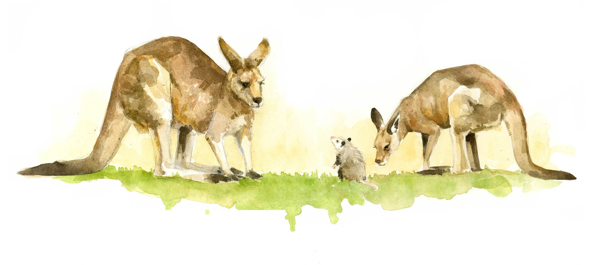 kangarooillustration-web.jpg