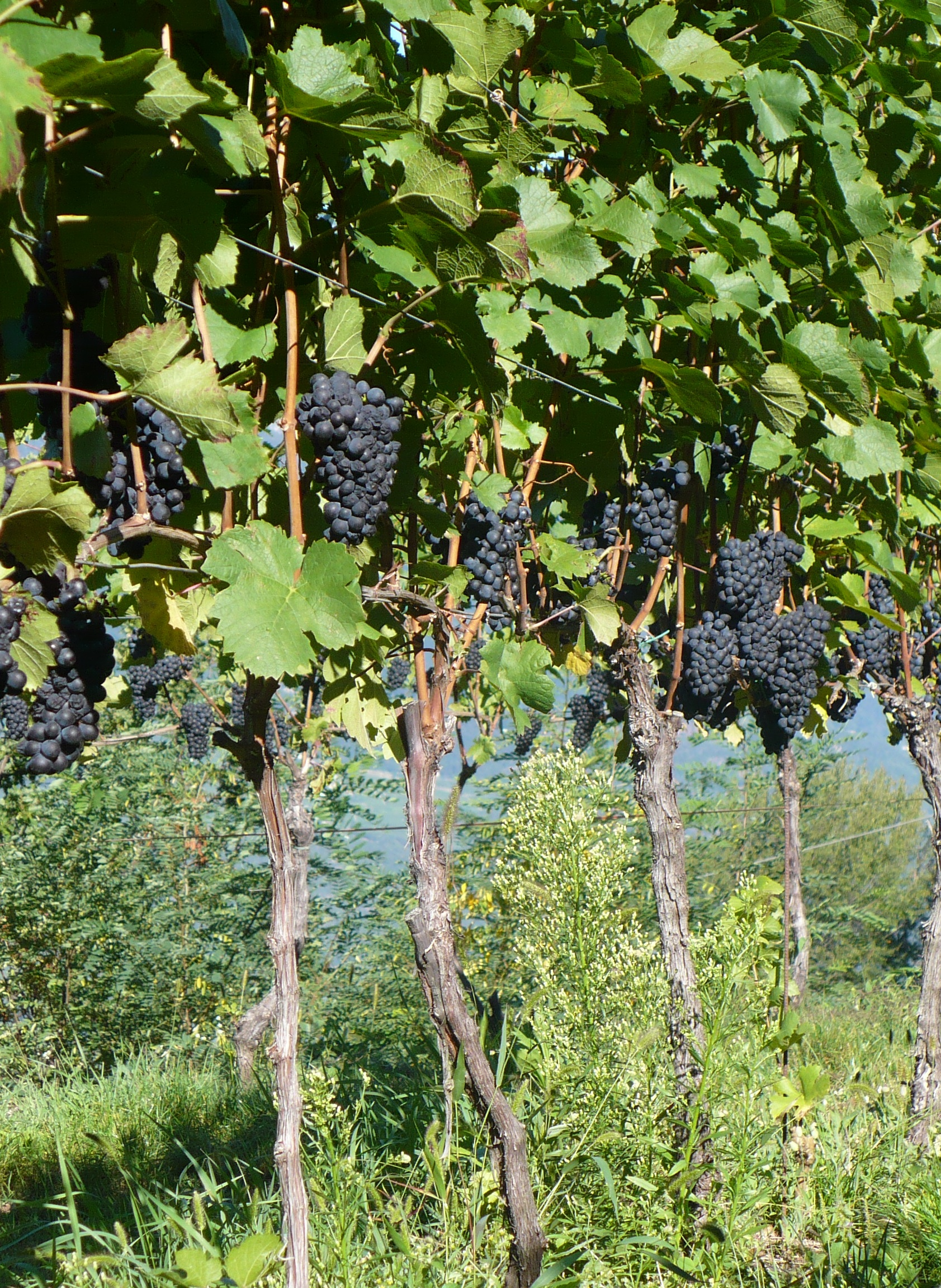 Pinot Noir Vineyards, in Gleno
