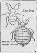 Bedbugs_(1904_sketch).jpg
