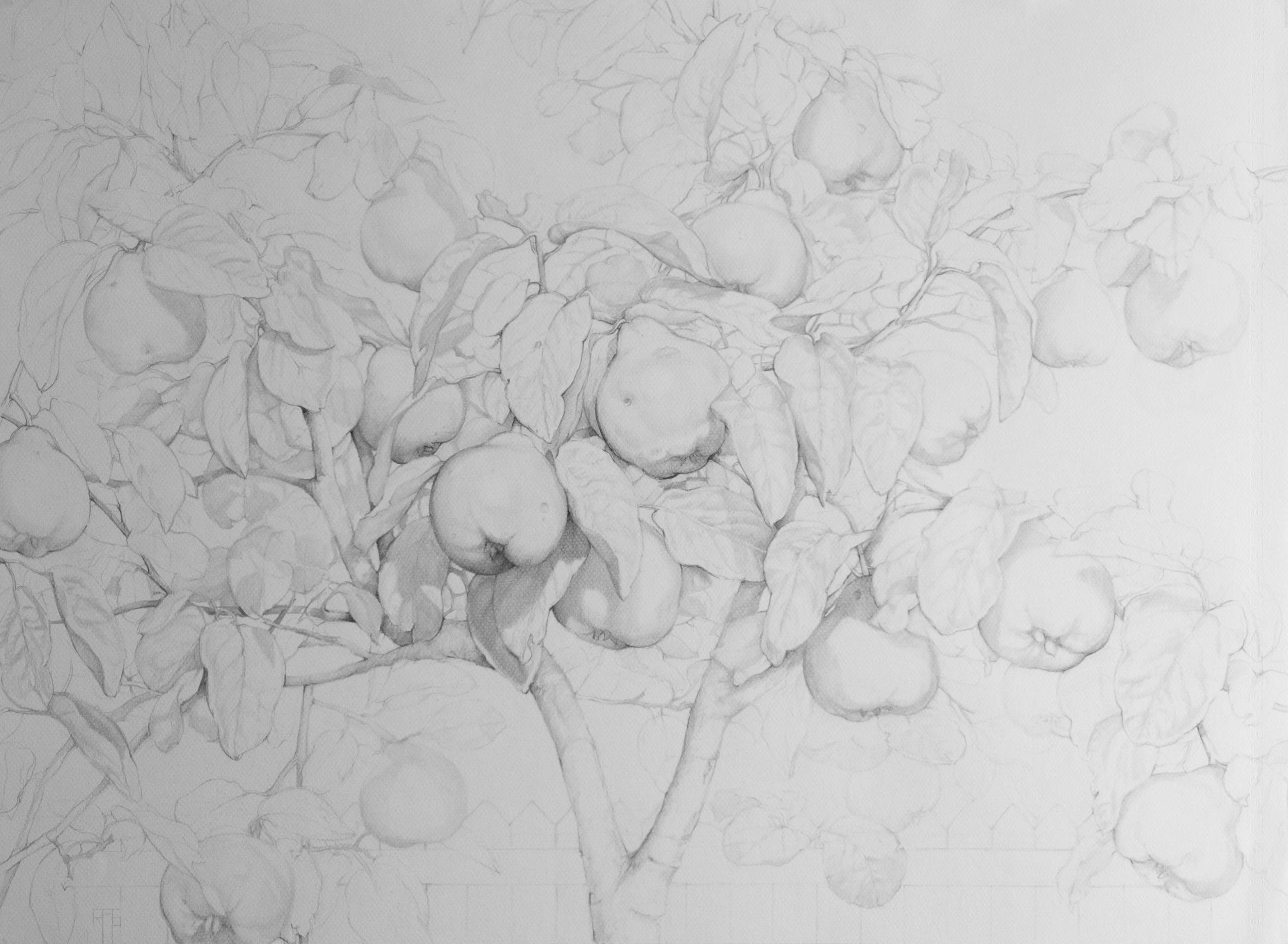 Membrillo II, Pencil on Paper, 55x75cm