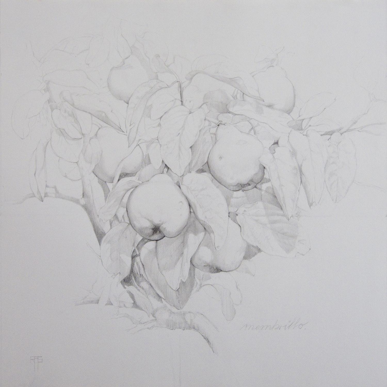 Membrillo III, Pencil on Paper, 54x54cm