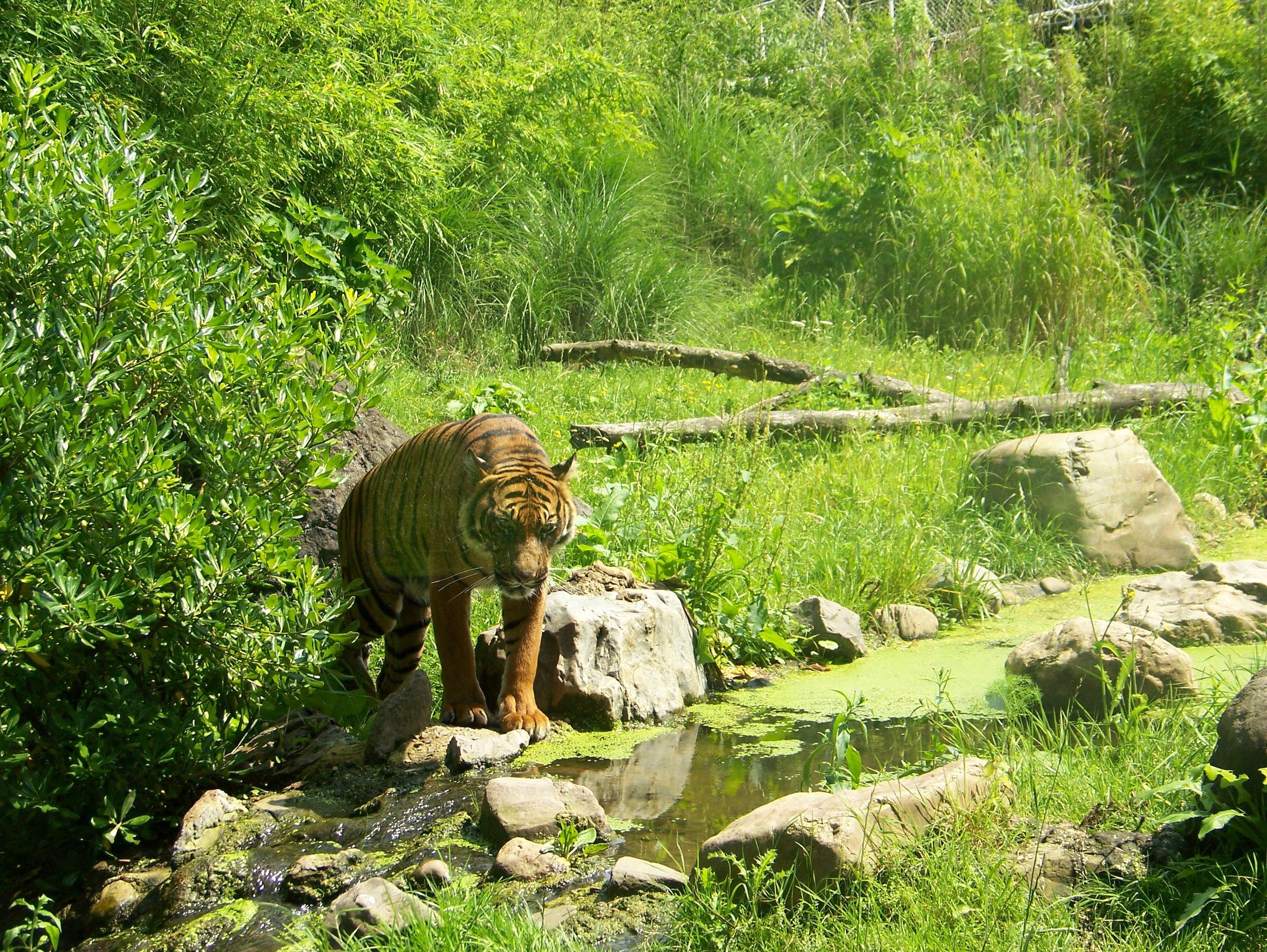Panthera_tigris_sumatrae2.jpg