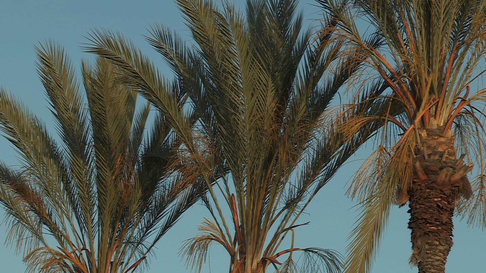01d-Fullerton Palm Trees.jpg
