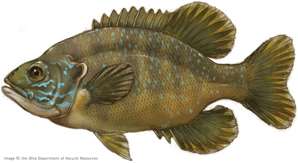 Thierolf_f_GreenSunfish.png