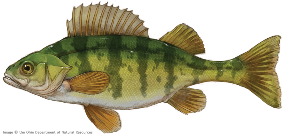 Thierolf_f_YellowPerch.png
