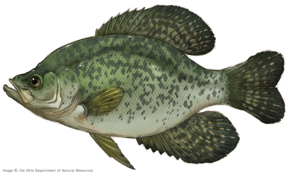 Thierolf_f_BlackCrappie.png