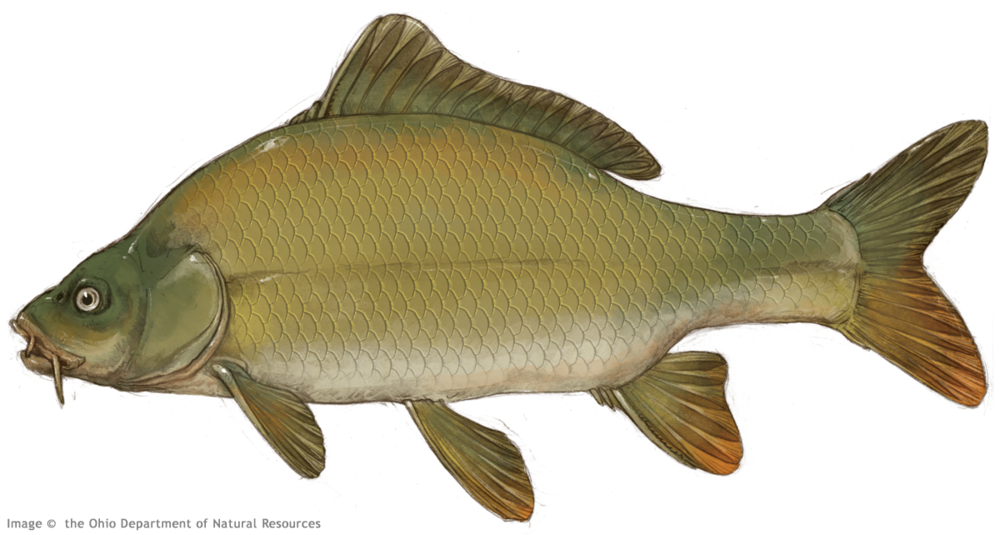 Thierolf_f_CommonCarp.png