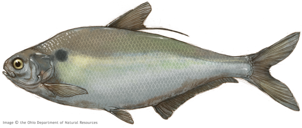 Thierolf_f_GizzardShad.png