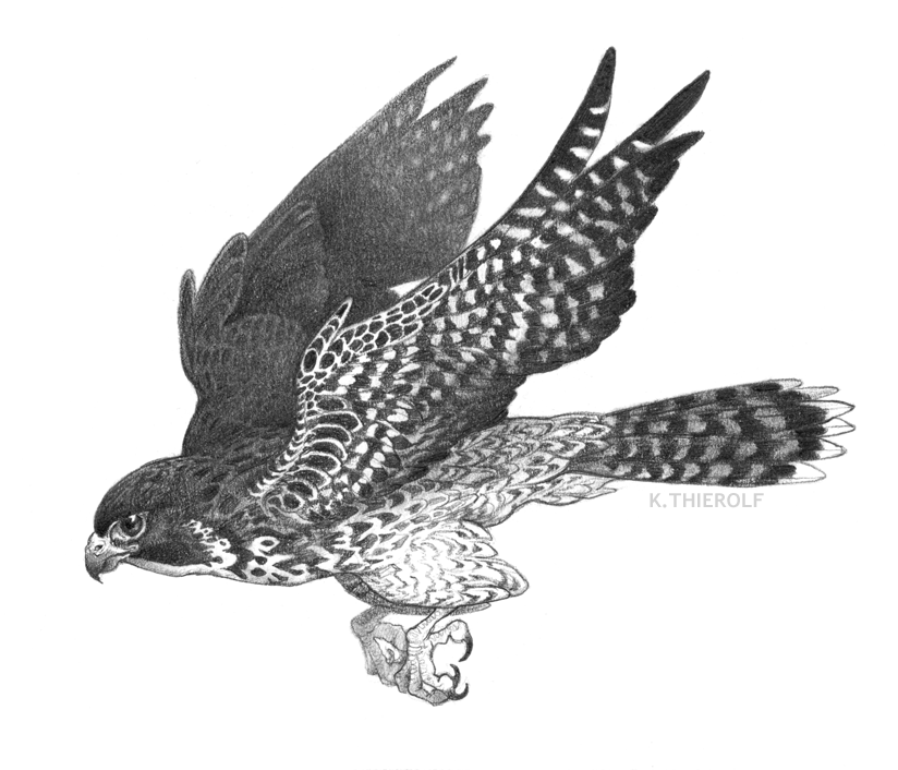 Example: animal spot illustration, graphite