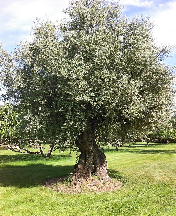 olivo-kika-tree.JPG