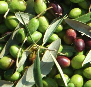 olivo-kika-aceitunas2.jpg