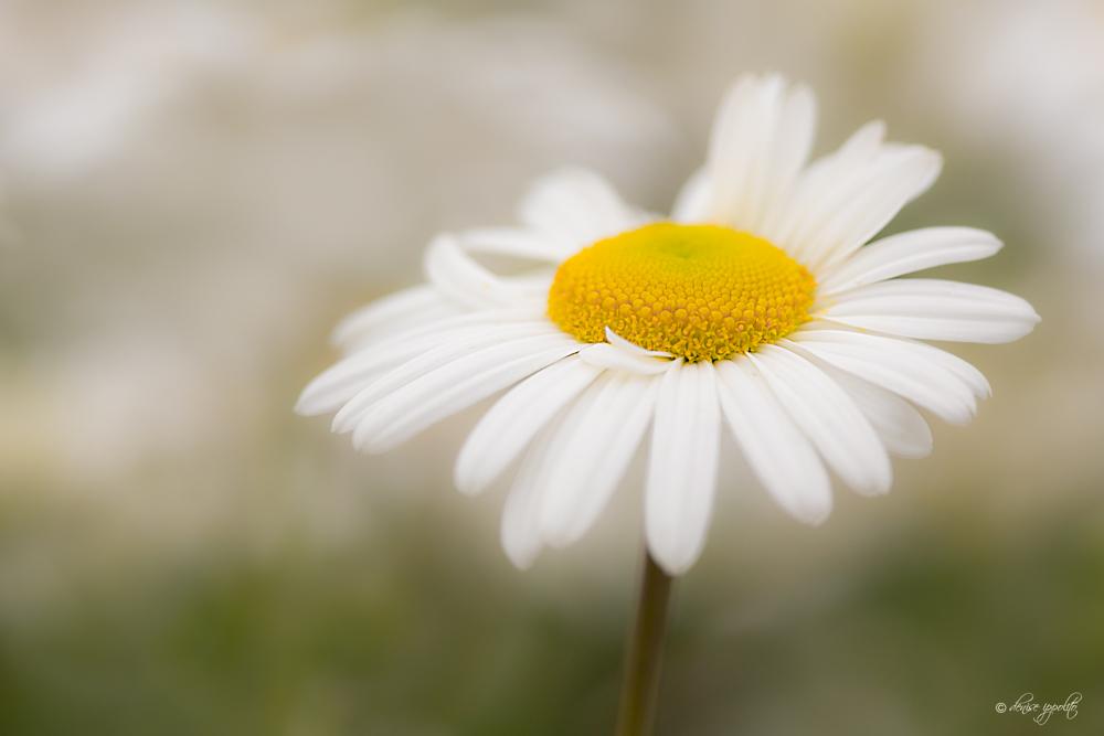 Daisy Soft Focus.jpg