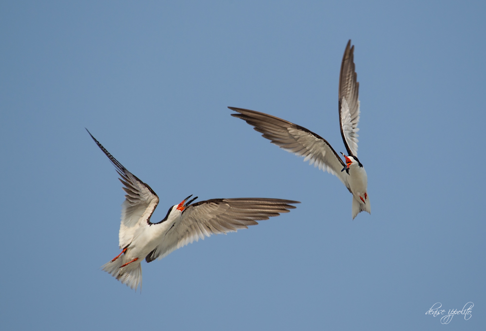 Black Skimmers Mid-Air Fight.jpg