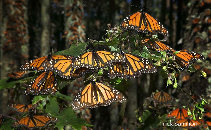 rick sammon monarchs.jpg