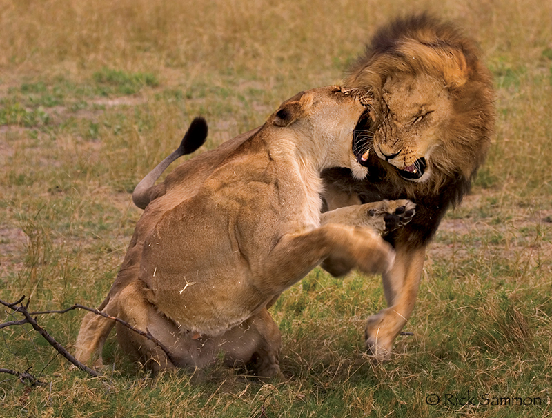 rick sammon lion.jpg