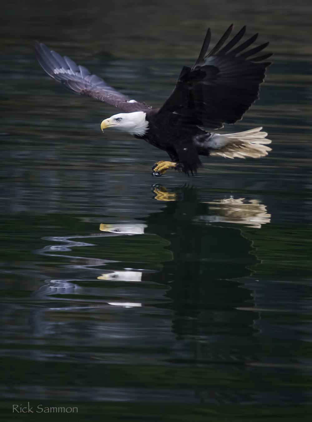 rick sammon bald eagle.jpg