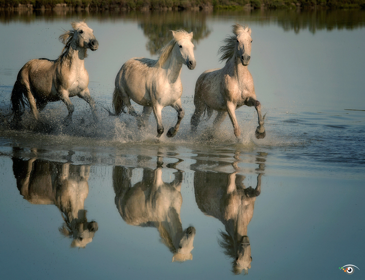 Sammon Carmargue horses.jpg