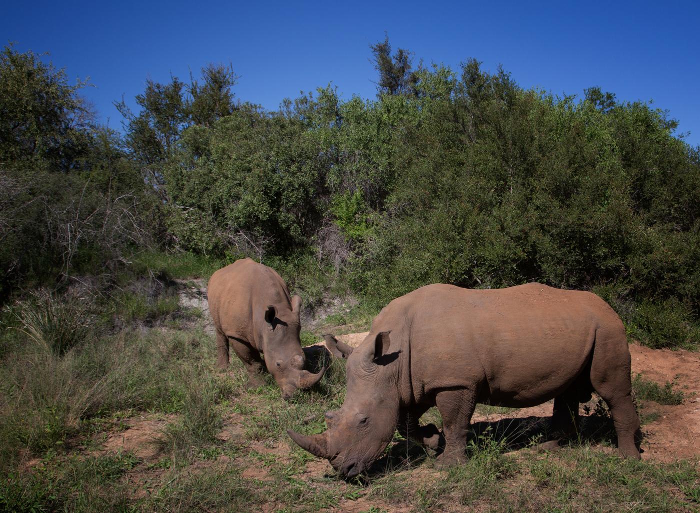 two rhinos copy 3.jpg