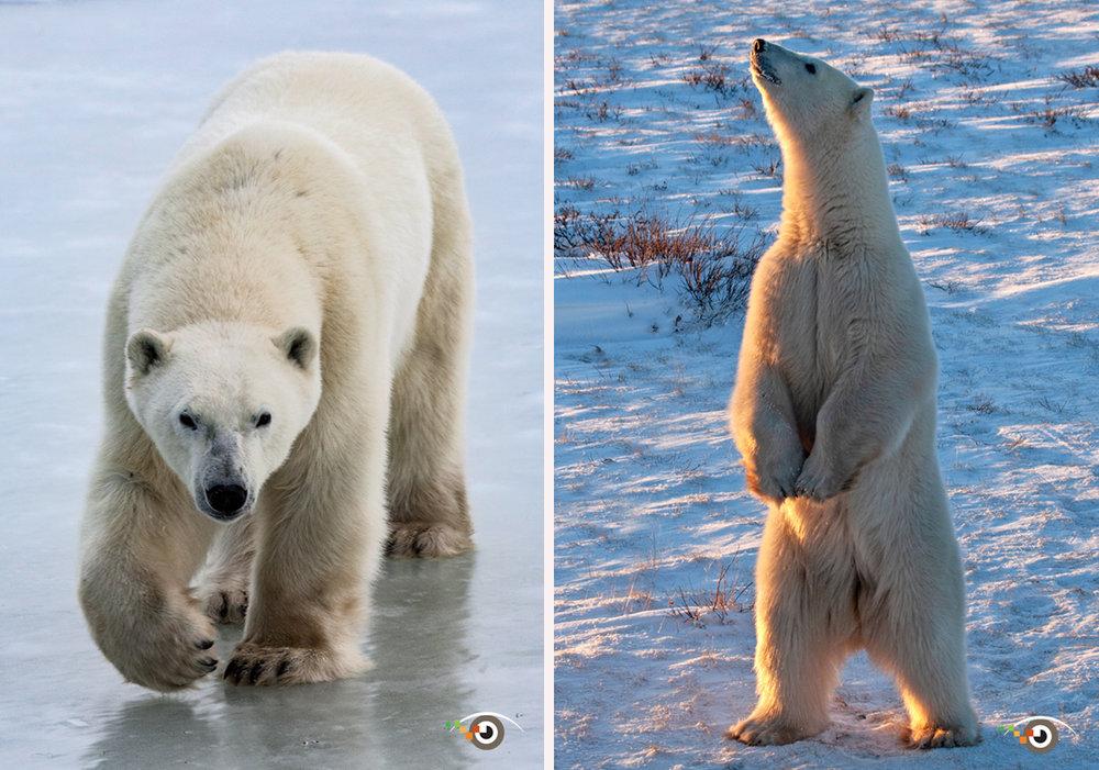 rick+sammon+polar+bears+.jpg