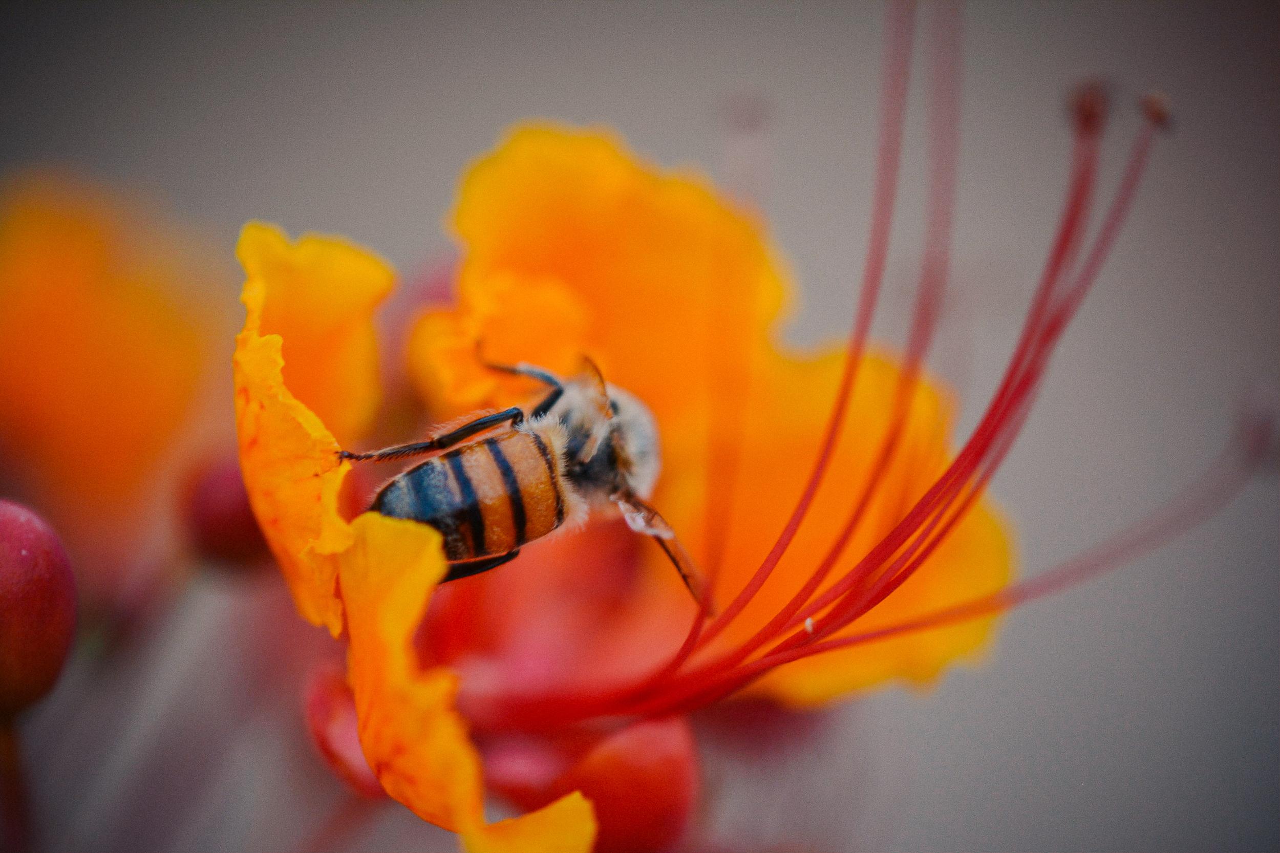 Bee:Flower.jpg