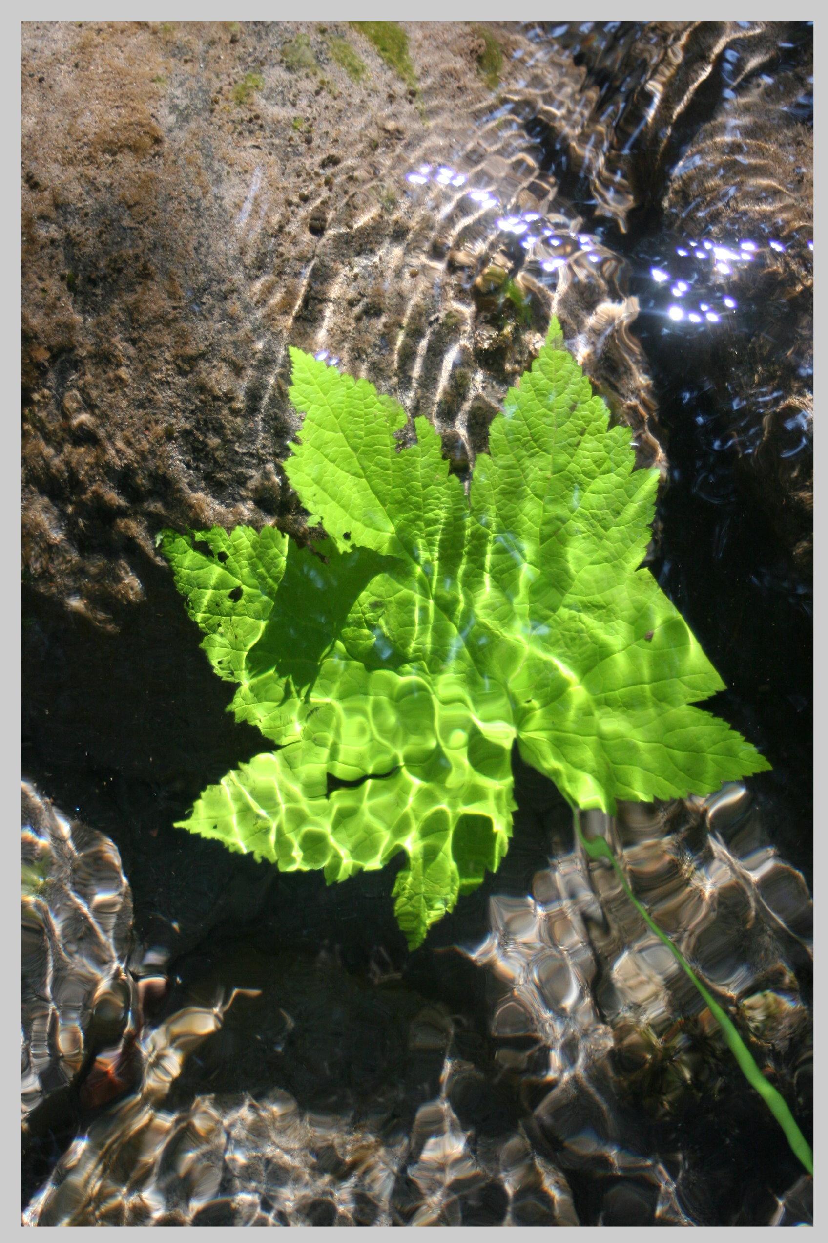 water_leaf.jpg