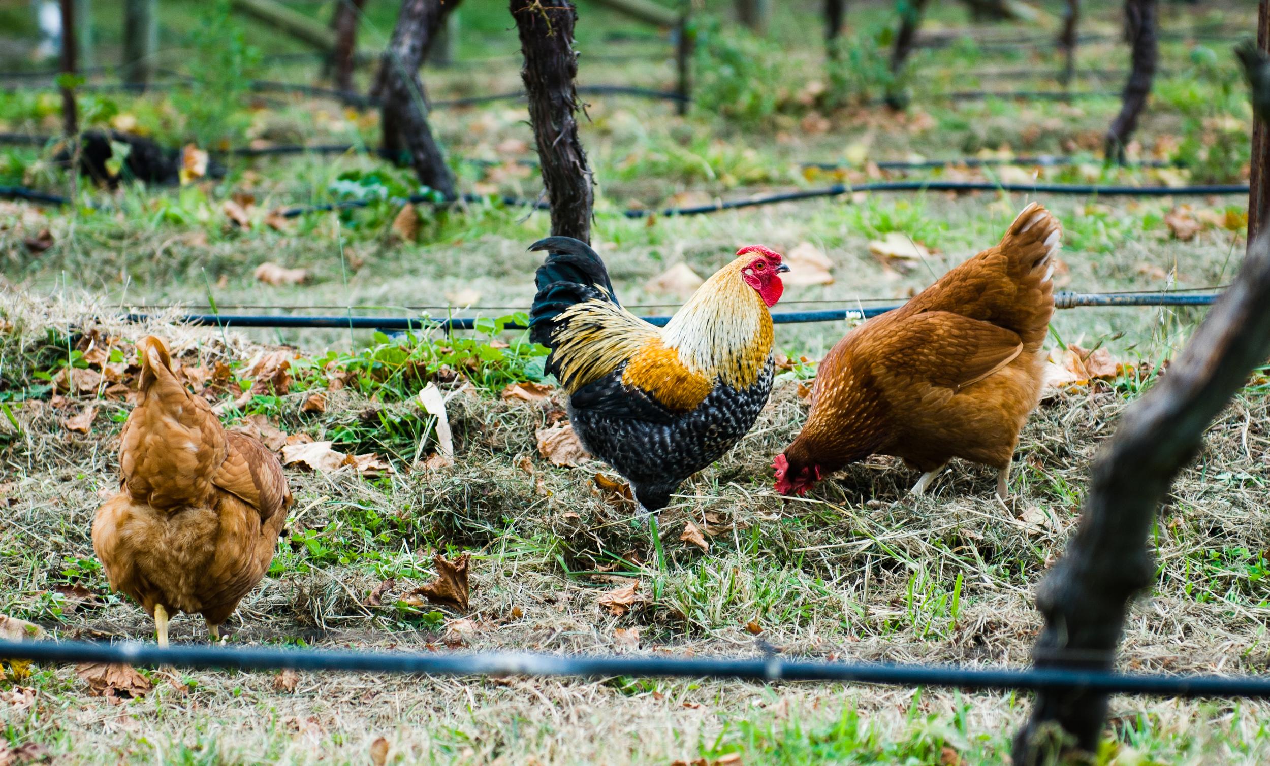 Lark-Hill-Restaurant-Images-Chickens.jpg