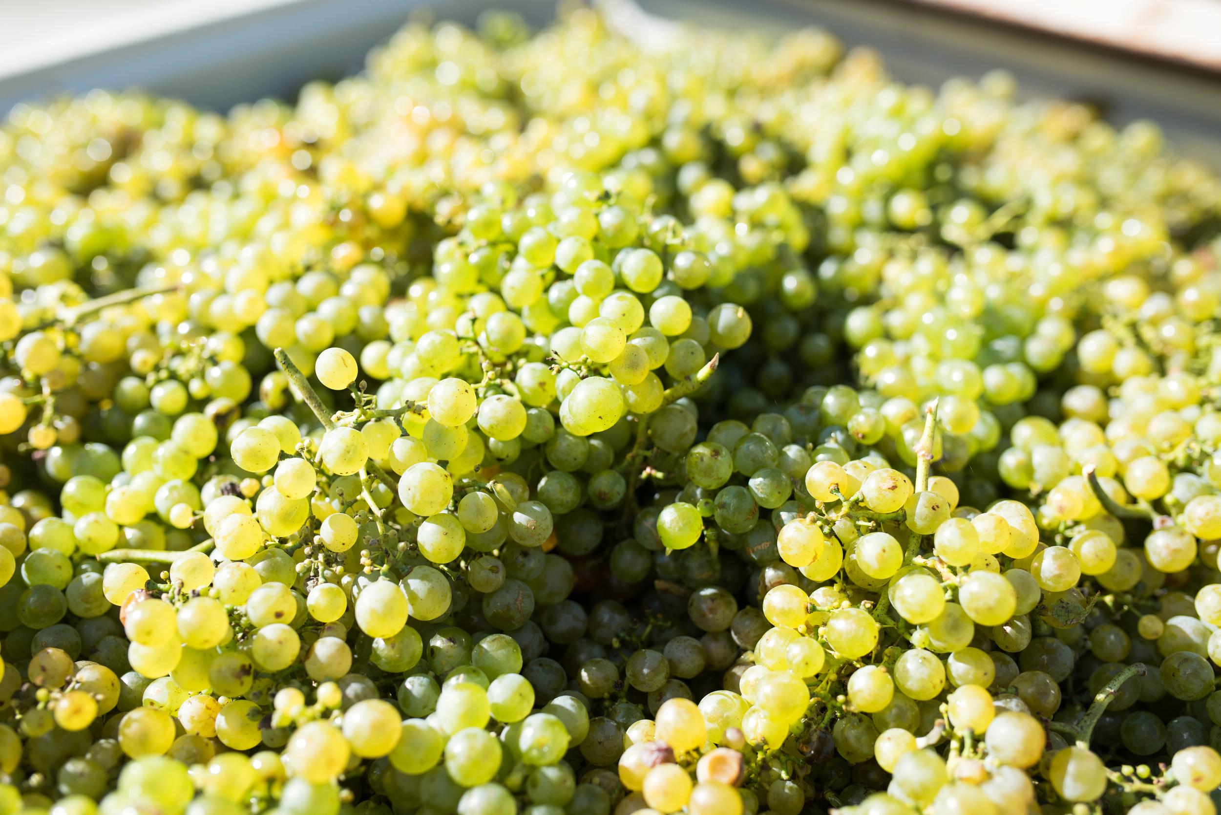 Lark Hill Vineyard; Gruner Veltliner Grapes