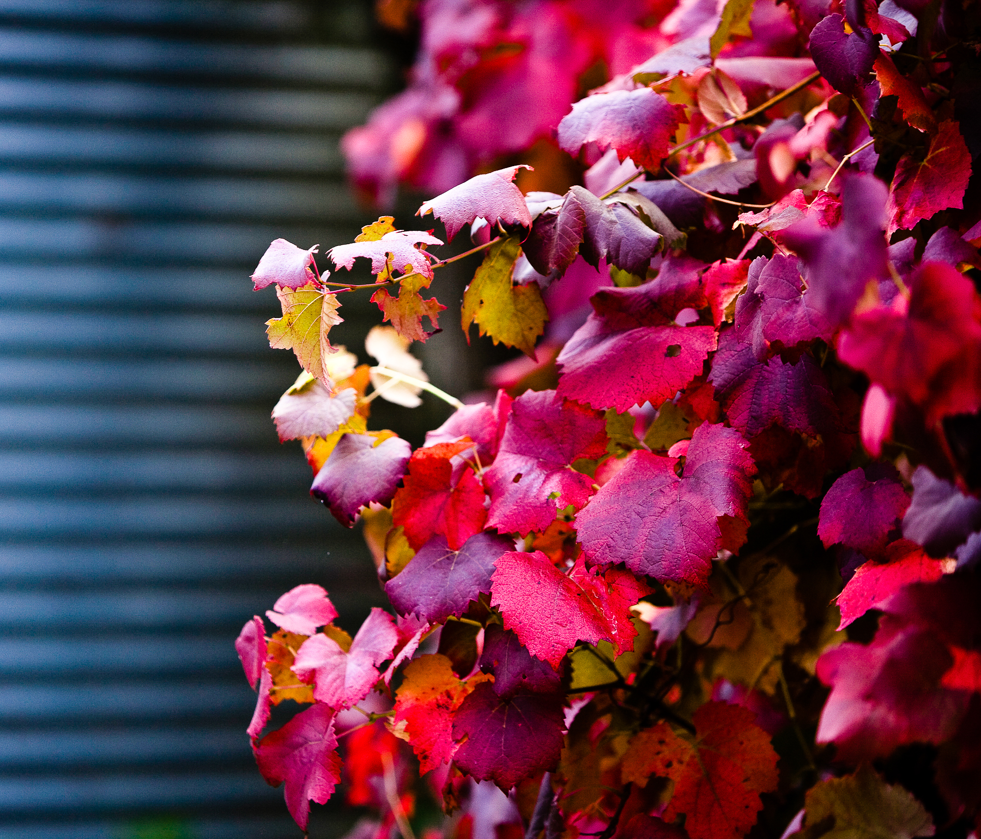 Lark Hill Vineyard; Ornamental Vine