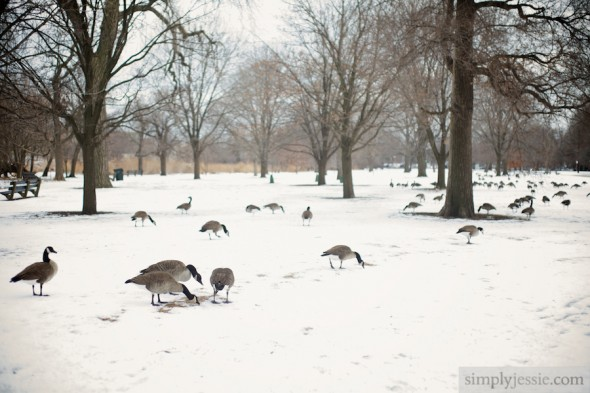Winter Lincoln Park Geese