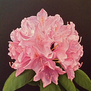 Pink Rhododendron 24x24
