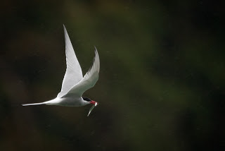 The Arctic Tern nests on the ground in some very sensitive locations.