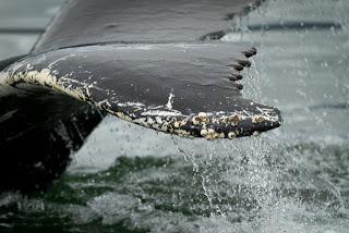 Humpback tail and barnacles
