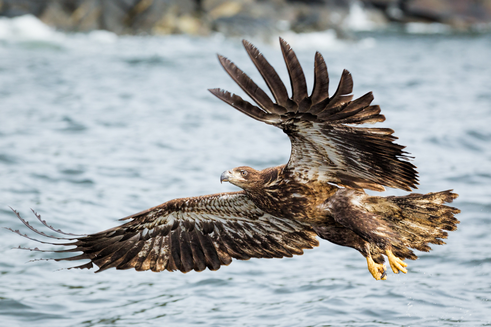 Juvenile bald eagle photographed in Alaska.
