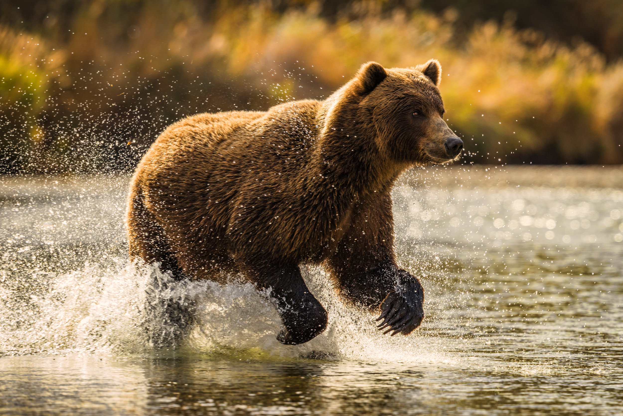 20160915_Katmai_Bears_F7I0946-912_warm.JPG