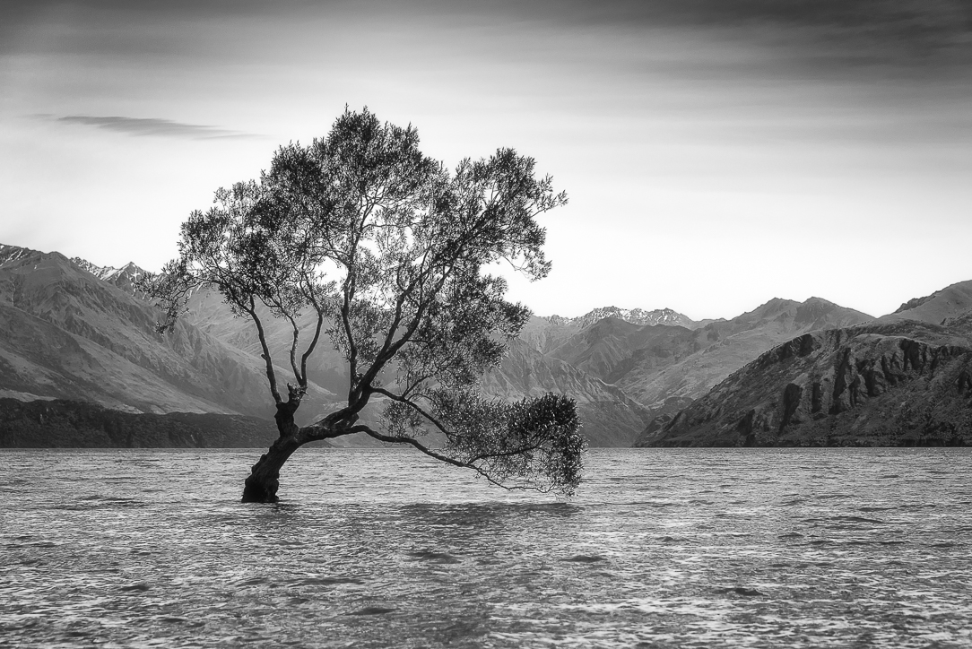The Wanaka Willow
