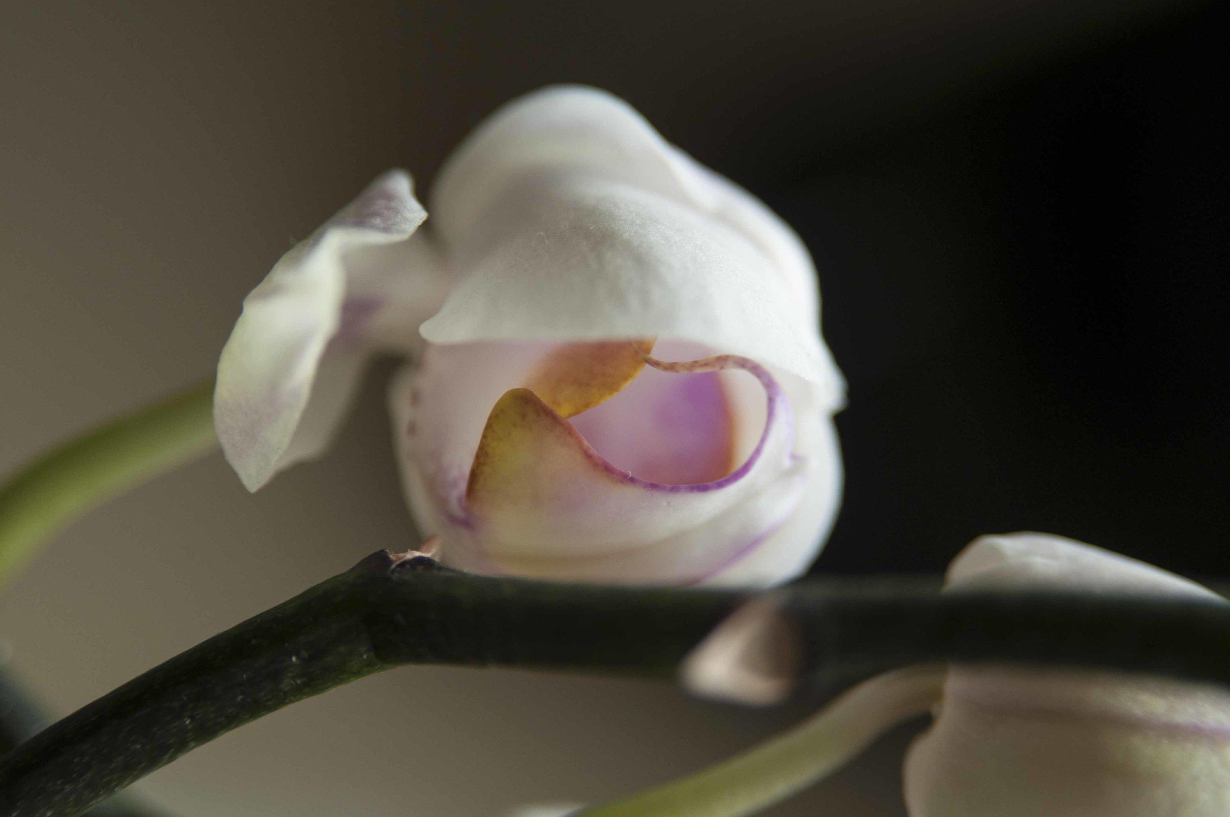 orchid6_17_17.jpg