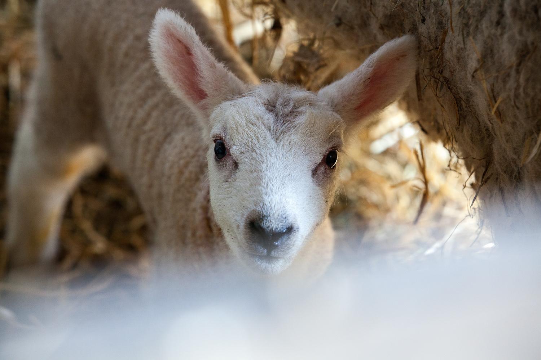 lamb-6.jpg