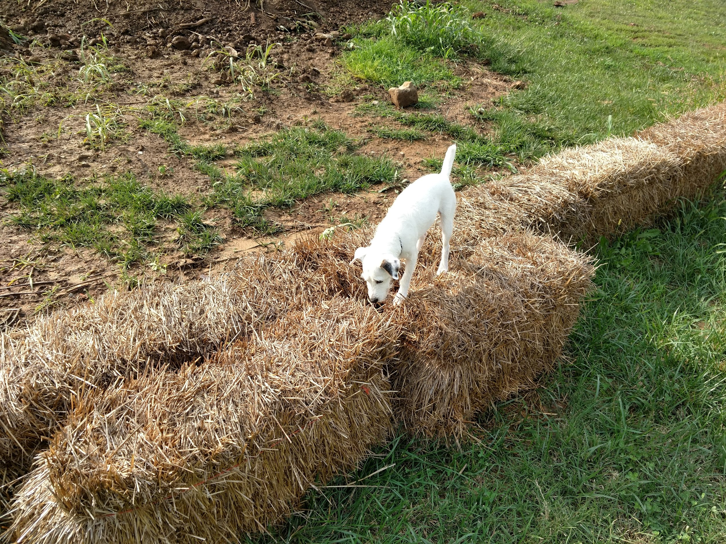 Scout on hay bail.jpg