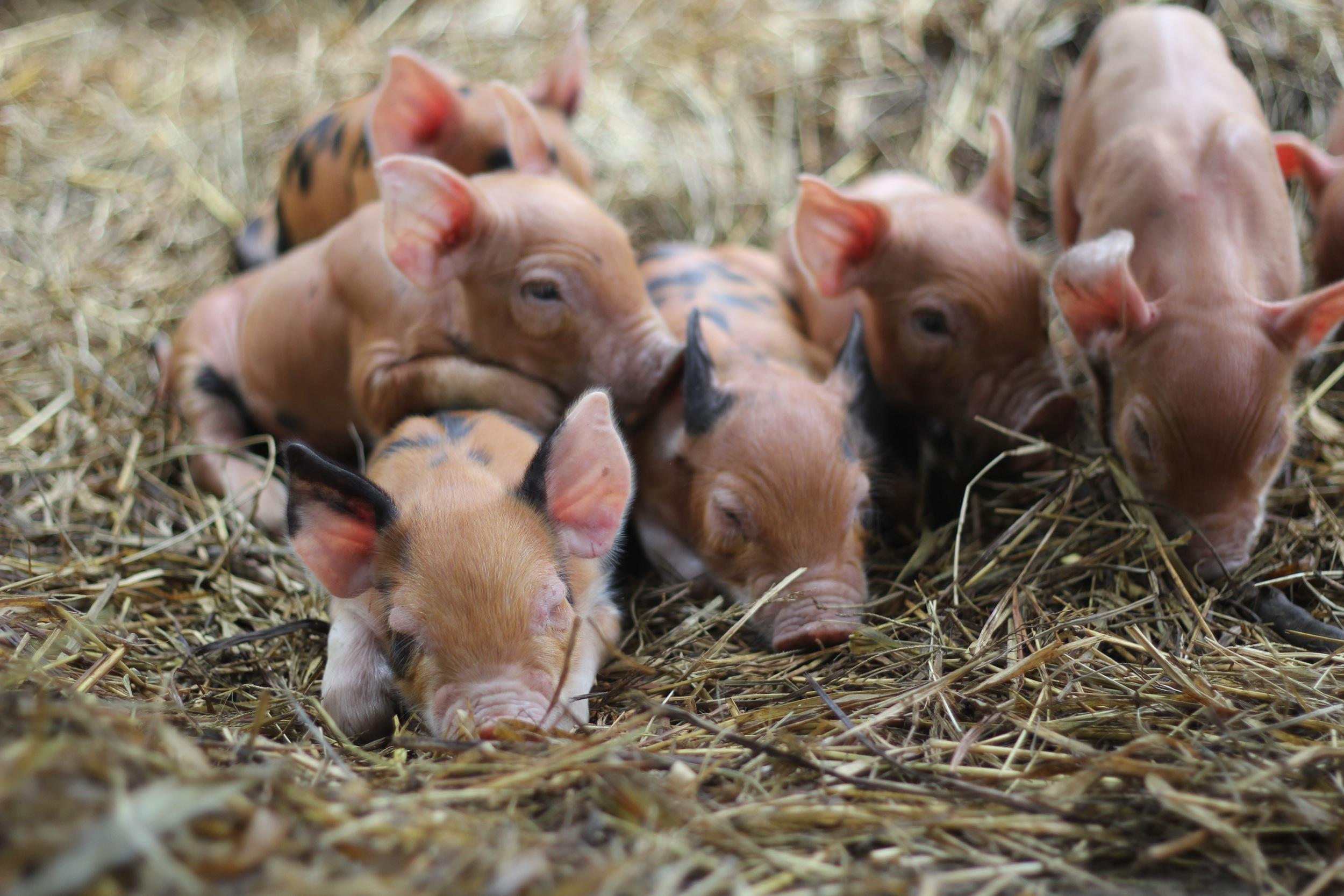 Sleepy Piglets