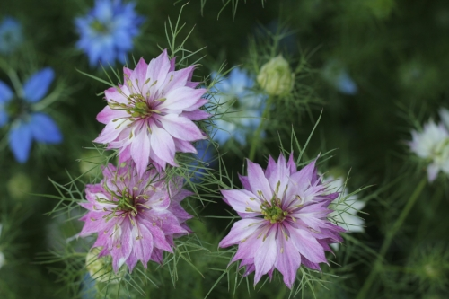Nigella (Love in a Mist)