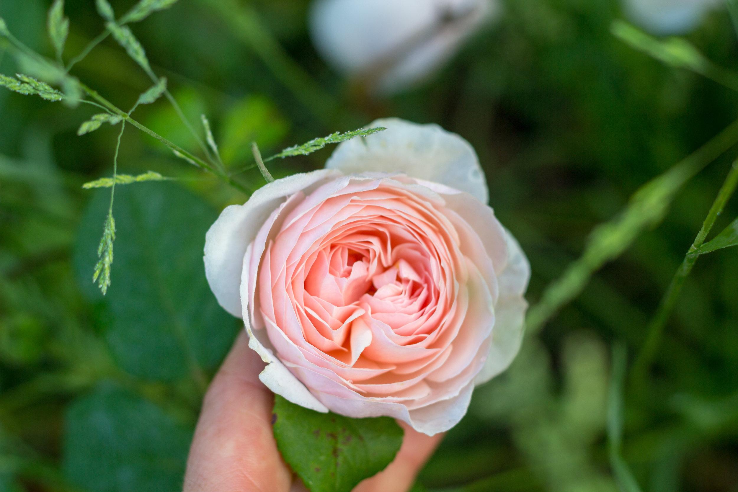 Abraham Darby Garden Rose