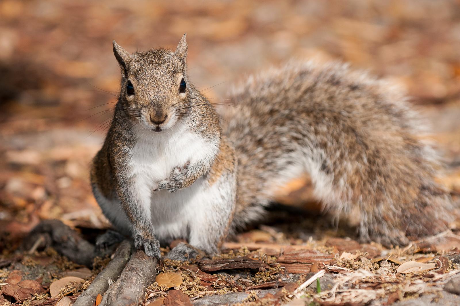Squirrel, Lake Eola