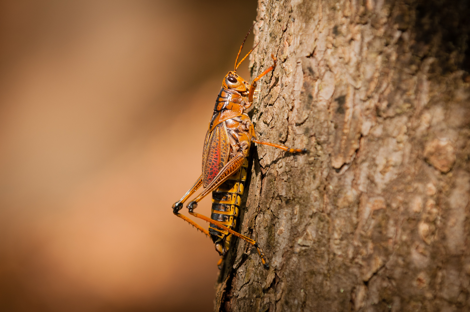 Giant Orange Grasshopper