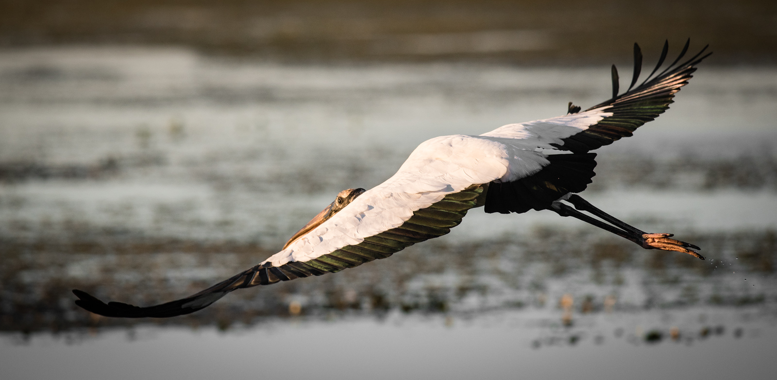 Wood Storck