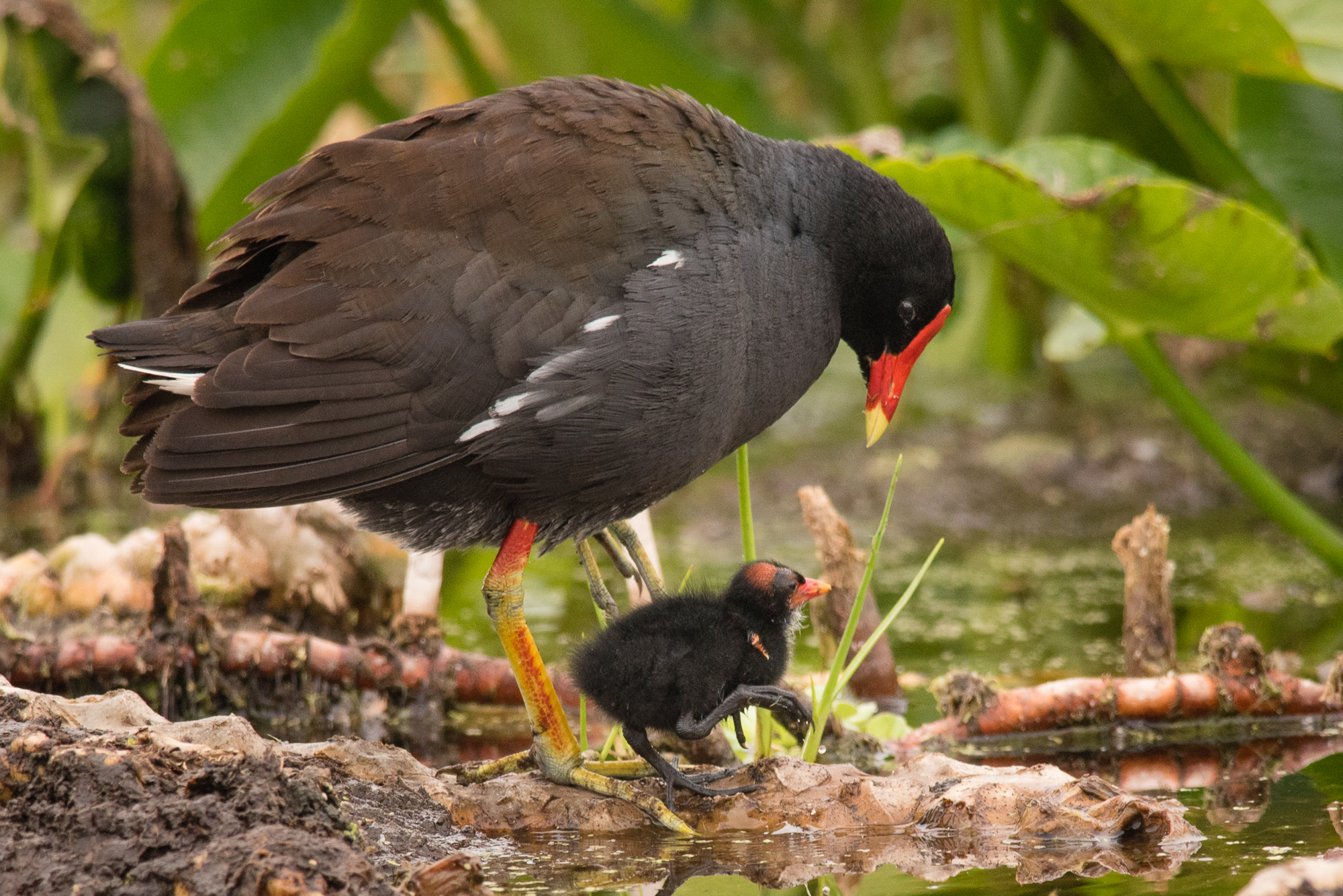 Common Gallinule with chick.